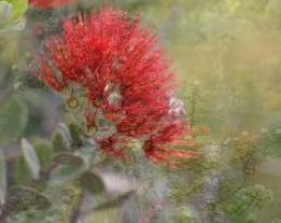 Lehua blossoms, Kilauea volcano, Hawaii Volcanoes National Park, by Volcano Village Hawaii