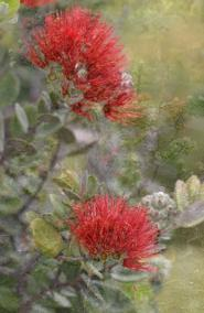 Lehua Blossom, Hawaii Volcanoes National Park, Kilauea Volcano, Volcano Hawaii